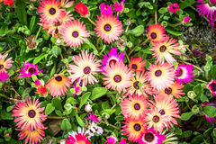 Garden flower - Argyranthemum. Garden flower - Beautiful blossoming garden flowers Argyranthemum royalty free stock images