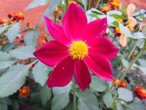 Garden flower. In autumn september flora fauna Stock Photography