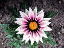 Garden flower. Beautiful garden flower blossomed,color flower Royalty Free Stock Photo