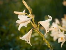 Garden flower closeup Stock Photography