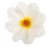 Garden flower dahlia Merry guys. On white background Stock Photography