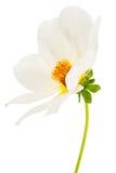 Garden flower dahlia Merry guys. On white background Royalty Free Stock Image