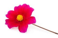 Garden flower dahlia Merry guys. On white background Stock Photo