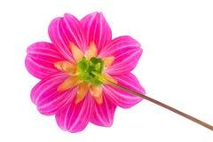 Garden flower dahlia Merry guys. On white background Stock Images