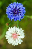 Garden flower Royalty Free Stock Photography