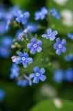 Garden flower. Royalty Free Stock Image