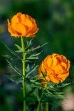 Garden flower. Royalty Free Stock Photography