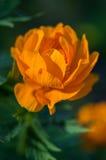 Garden flower. Stock Photo