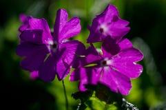Garden flower. Stock Photography