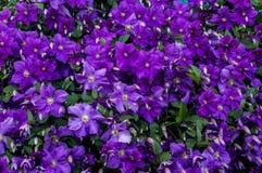 Garden flower. Stock Images