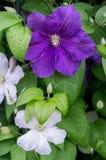 Garden flower. Stock Image