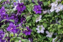 Garden flower. Stock Photos