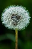 Garden flower. Royalty Free Stock Images