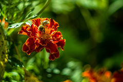 Garden flower. Royalty Free Stock Photo