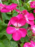 Garden flower. Fresh flower in garden Royalty Free Stock Image