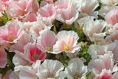 Garden flower Godetia Stock Image