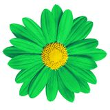 Garden flower green yellow daisy on white background. Close-up. Macro. Element of design.  royalty free stock photography