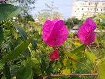 BOUGAINVILLEA SPECTABILIS, ALSO KNOWN AS GREAT BOUGAINVILLEA, IS A SPECIES OF FLOWERING PLANT. Garden flower nature pink green bougainvillea spectabilis also stock photos