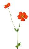 Garden flower with orange blooms on white Royalty Free Stock Photos