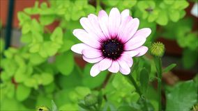 Garden flower pink purple stock footage