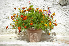 Garden flower pot with growing tagetes Royalty Free Stock Images