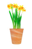Garden flower pot with yellow narcissus (daffodil) Stock Image
