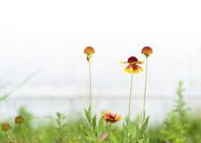 Garden flower red Gaillardia Royalty Free Stock Photo
