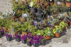Garden flower seedlings in plastic pots Royalty Free Stock Image