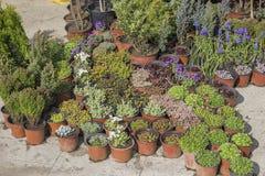 Garden flower seedlings in plastic pots 2 Stock Image