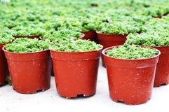 Garden flower stone roses Royalty Free Stock Photo