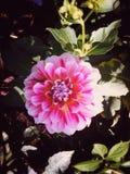 Garden flower. Summer garden flower Royalty Free Stock Photography