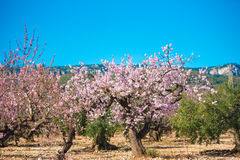 Garden of flowering almond trees in forest. Copy space for text. Stock Image