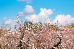 Garden of flowering almond trees in forest. Copy space for text. Royalty Free Stock Photo