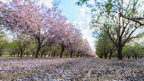 Garden with flowering fruit trees Stock Images