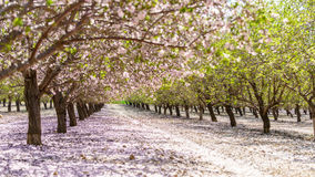 Garden with flowering fruit trees Royalty Free Stock Photography