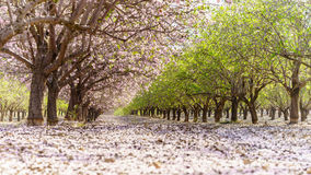 Garden with flowering fruit trees Stock Photography