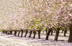 Garden with flowering fruit trees Royalty Free Stock Images