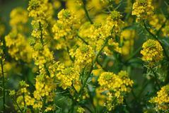 Garden with Flowering Goldenrod Blossoms. Lush garden with lots of blooming goldenrod flowers Royalty Free Stock Image