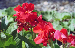 Garden Flowers. Red flowers in full bloom, close up surrounded by green vegetation Stock Image