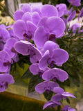 Garden flowers. Close up of Lilac orchid Stock Images