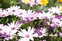 Garden flowers. Lilac garden flowers in local focus stock photography