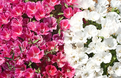 Garden flowers. Pink and white garden flowers royalty free stock images