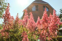 Garden flowers Astilbe Brick country house In the sunshine of the sunset. Stock Images