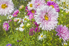 Garden flowers. Beautiful garden flowers on the farm Stock Photography