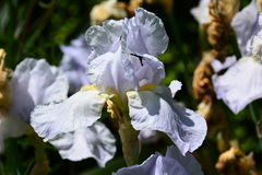Garden flowers. Beautiful iris flower, summer, relax in the gardens, colors, birds, wind noise, walk and relax in the park Royalty Free Stock Images