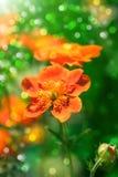 Garden flowers. Beautiful spring red garden flowers Stock Image