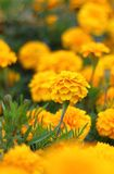 Garden flowers. Royalty Free Stock Photography