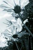 Garden flowers in black and white. Nice garden flowers in black and white Royalty Free Stock Photo