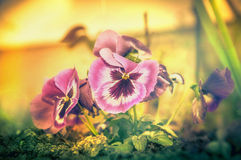 Garden flowers blooming with heartsease, yellow toned, close up Royalty Free Stock Image
