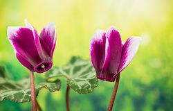 Garden Flowers - Cyclamen. Home and Garden Flowers - Cyclamen Stock Images